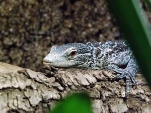 Blauer Baumwaran (Reptilium Landau)