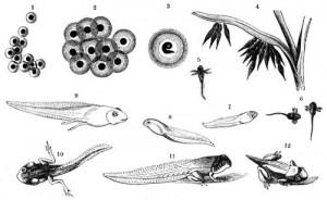 Entwicklungszustände der Eier und Larven des Grasfrosches. 1 Eier nach dem Legen. 2 Dieselben wenig später. 3 Larve im Ei. 4, 5 Dieselbe nach Durchbrechung der Hülle. 6 bis 12 Weiterentwickelung der Larve bis zur Verwandlung. (Brehms Tierleben)