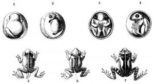 Entwicklung des Antillen-Pfeiffrosches. 1 bis 4 Keimling im Ei. 5, 6, 7 Das Fröschchen am ersten Tage seines Lebens. Dreimal vergrößert (Brehms Tierleben)