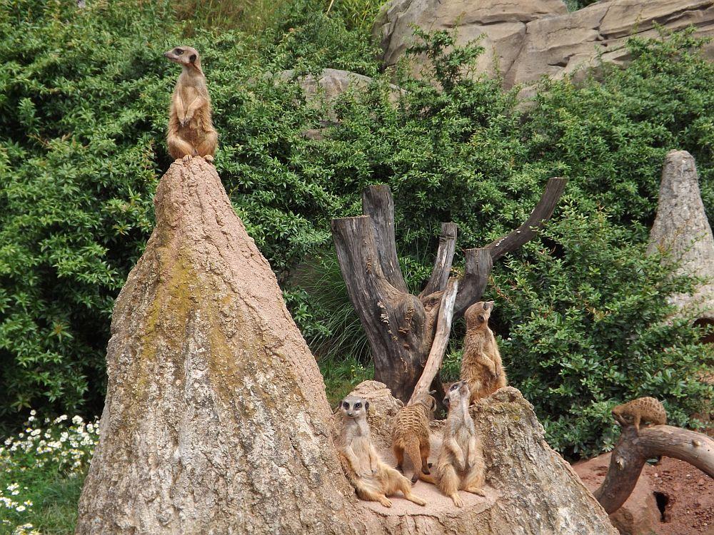 Erdmännchen (Zoo Leipzig)