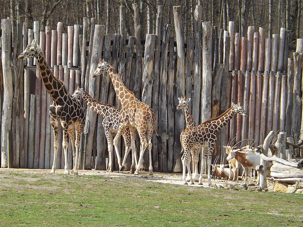 Giraffen und Säbelantilope (Zoo Leipzig)