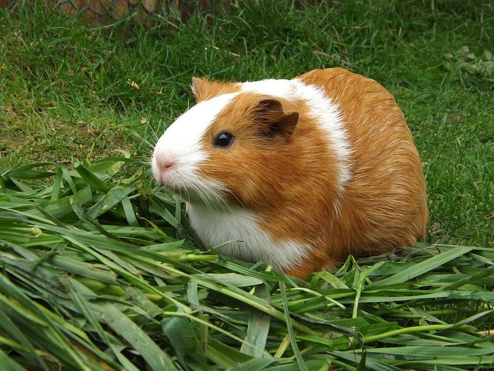 Hausmeerschweinchen (Erlebniszoo Hannover)