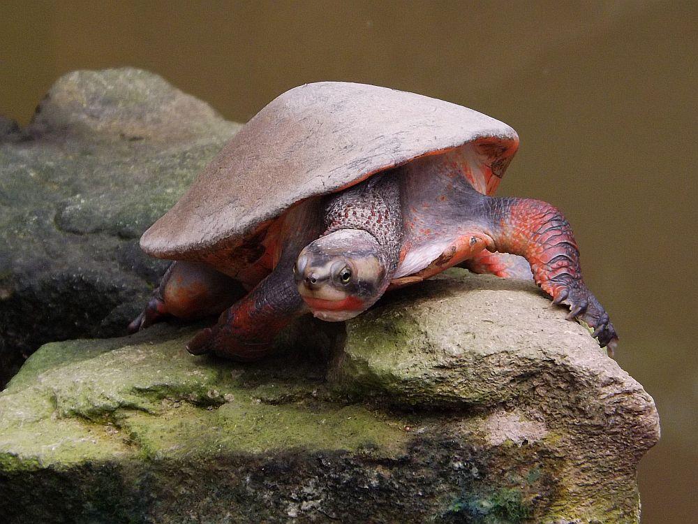 Rotbauch-Spitzkopfschildkröte (idea Dschungelparadies)