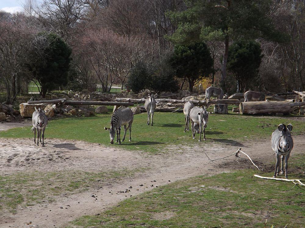 Grevyzebras (Zoo Leipzig)