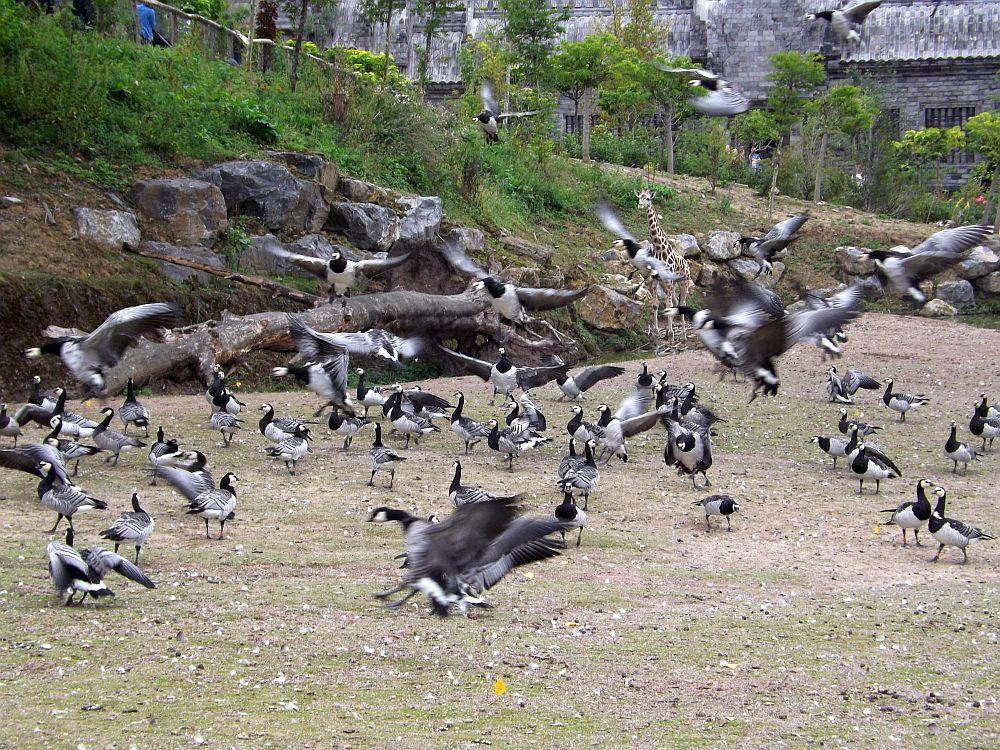 Weißwangen- und Kanadagänse (Pairi Daiza)