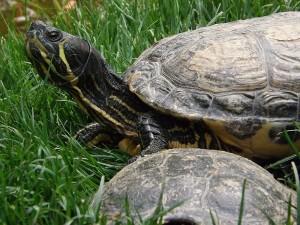 Gelbwangen-Schmuckschildkröte (Thüringer Waldzoo)