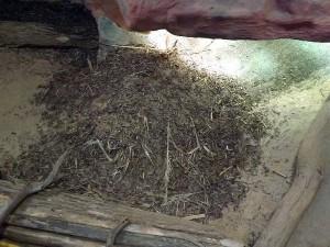 Nest des Krokodilkaimans (Zoo Neuwied)