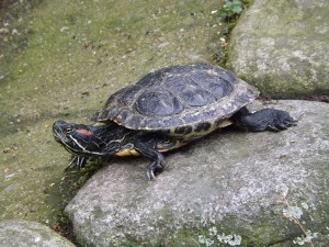 Rotwangen-Schmuckschildkröte (Wildpark Altenfelden)
