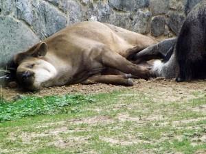 Flachlandtapir und Großer Ameisenbär (Pairi Daiza)