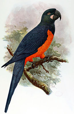 Martinique-Ara (John Gerrard Keulemans)