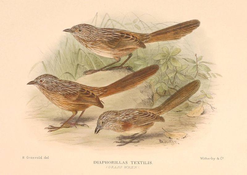 Dickschnabel-Grasschlüpfer (H. Gronvold)