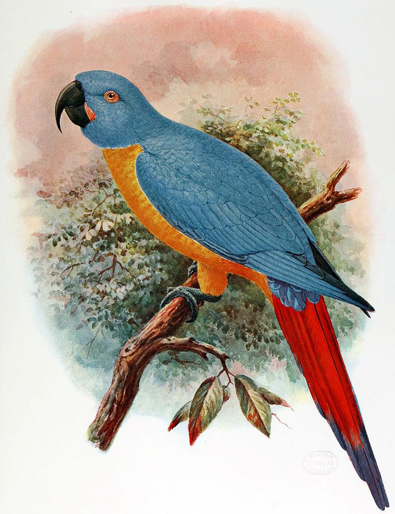 Вымершие и уничтоженные виды попугаев и других птиц 800px-Ara_Erythrura