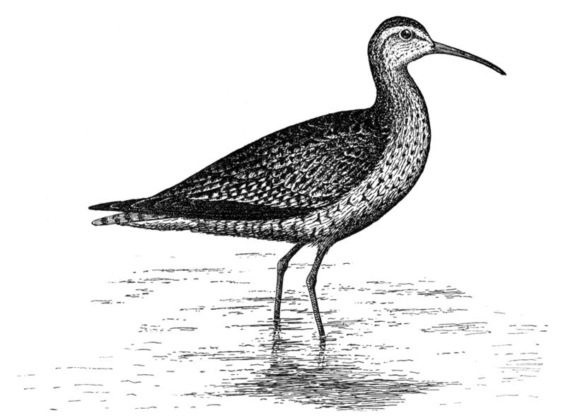 Eskimo-Brachvogel (Edward Howe Forbush)