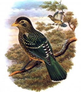 Grünlaubenvogel (Richard Bowdler Sharpe)