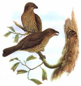 Zahnlaubenvogel (Richard Bowdler Sharpe)