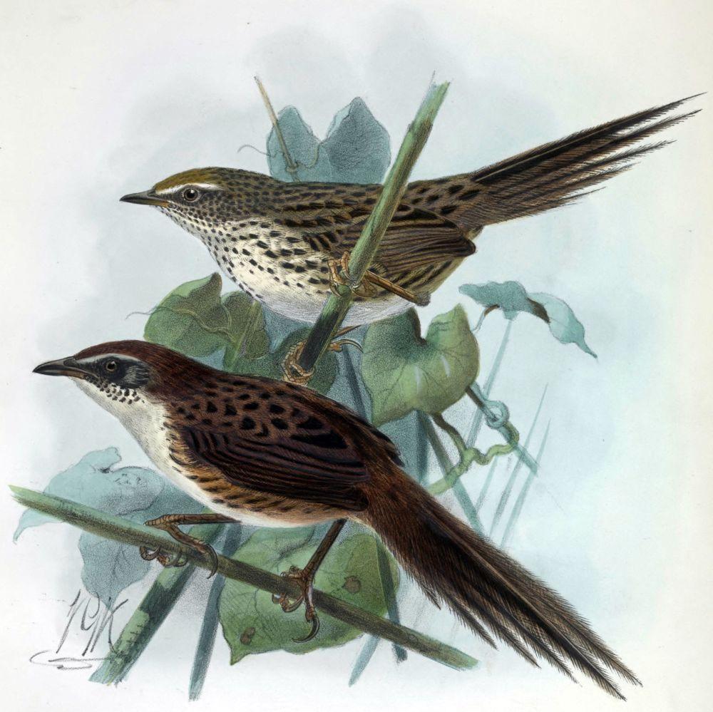Farnsteiger (oben) und Chatham-Grassänger (unten), zwei endemische Vögel Neuseelands (John Gerrard Keulemans)