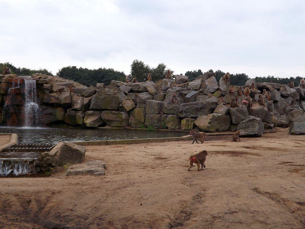 Anlage für Afrikanische Elefanten und Paviane (Safaripark Beekse Bergen)
