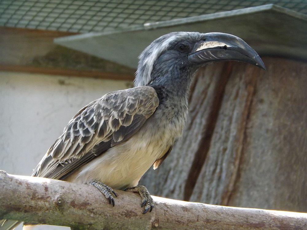 Grautoko (Vogelpark Irgenöd)