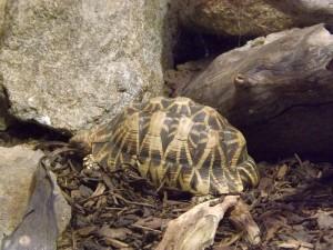 Indische Sternschildkröte (Zoo Linz)
