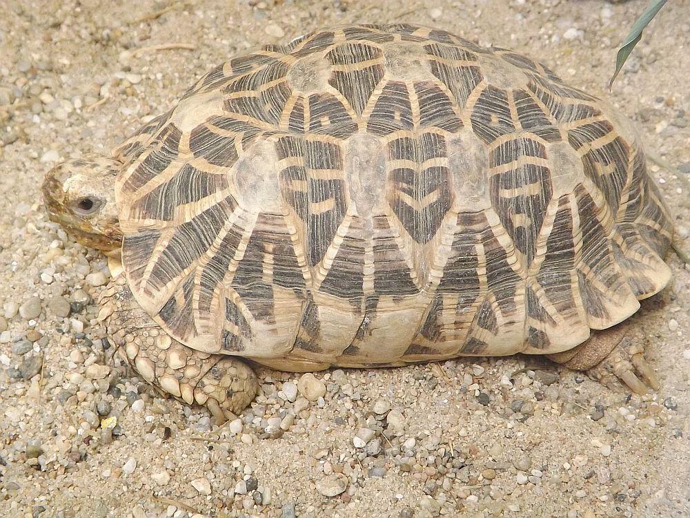 Indische Sternschildkröte (Tiergarten Straubing)