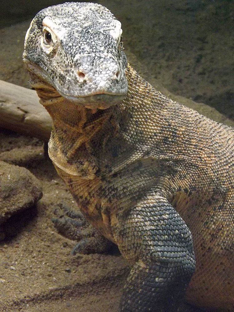 Komodowaran (Zoo Prag)