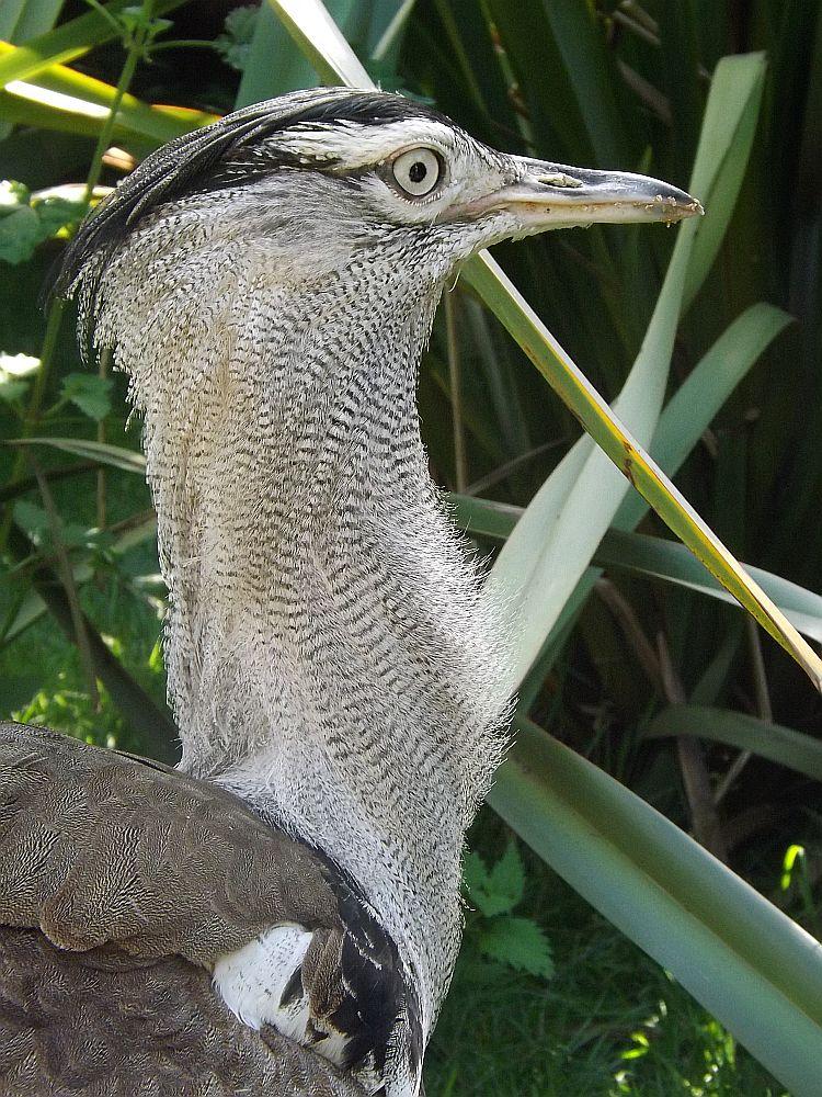 Riesentrappe (Weltvogelpark Walsrode)