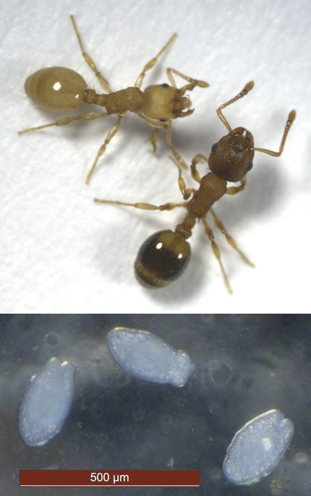 Braune, gesunde und gelbe, infizierte Ameise (oben) sowie der Bandwurm Anomotaenia brevis in seinem Larvenstadium, wie es in der Ameise vorkommt (unten) (©Susanne Foitzik)
