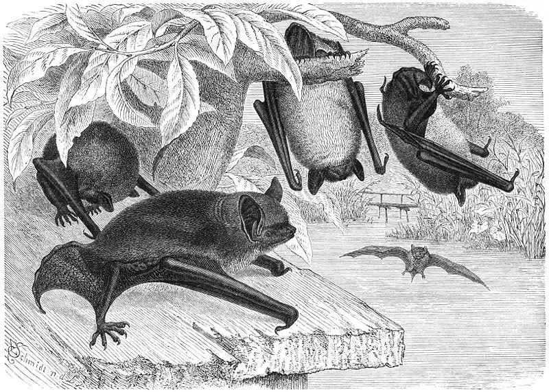 Wasserfledermaus (Behms Tierleben)