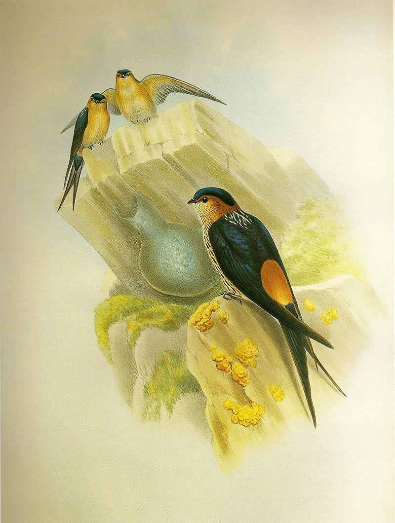 Rötelschwalbe (John Gould)