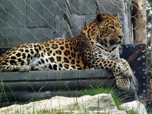 Afrikanischer Leopard (Pairi Daiza)