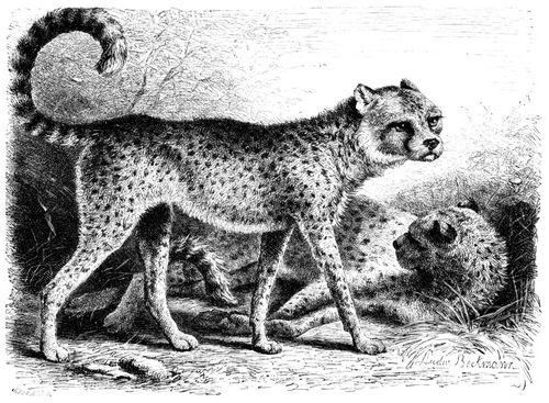 Gepard (Brehms Tierleben)