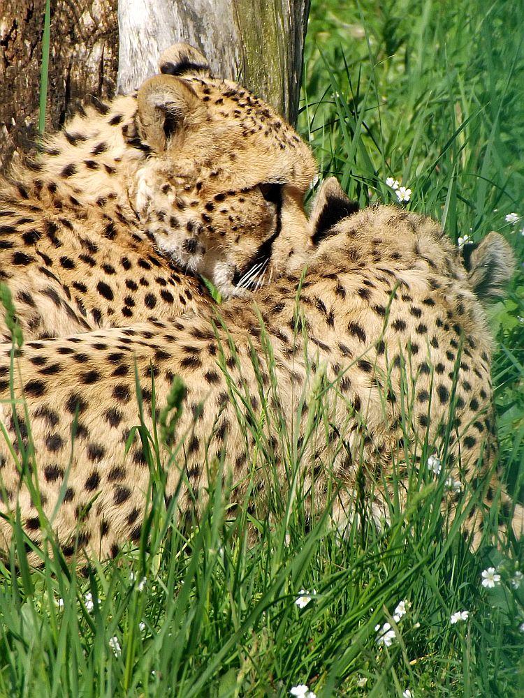 Sudan-Gepard (Tierpark Berlin)