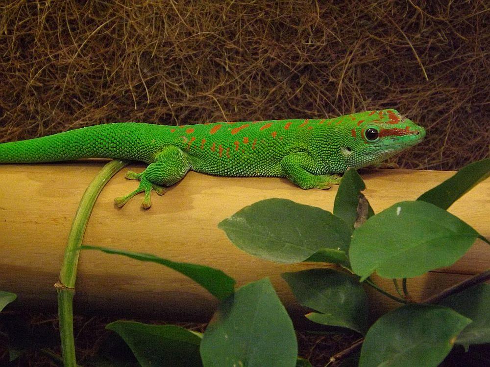 Großer Madagaskar-Taggecko (Tierpark Fauna)