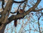 Kleiner Panda (Tierpark Hellabrunn)