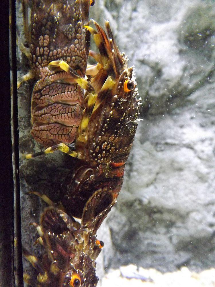 Kleiner Bärenkrebs (Sea Life München)