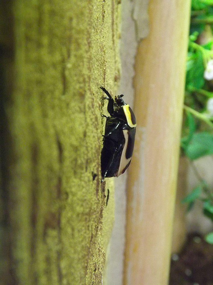 Kongorosenkäfer (Thüringer Zoopark)