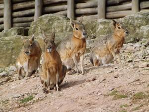 Großer Mara (Thüringer Zoopark)