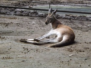 Rotes Riesenkänguru (Zoo Hodonin)