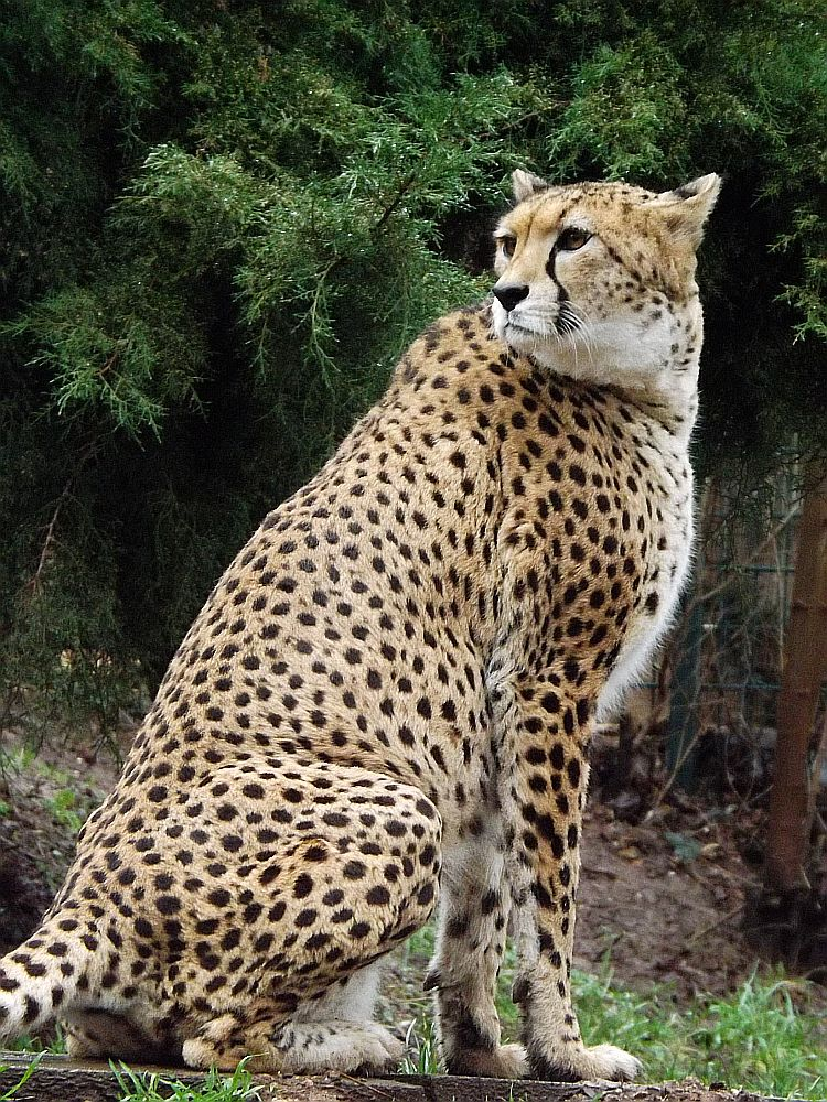Sudan-Gepard (Zoo Landau)