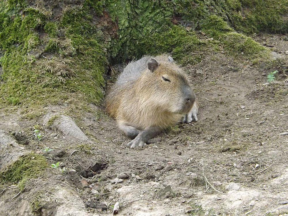 Wasserschweine (Tierpark Hirschfeld)