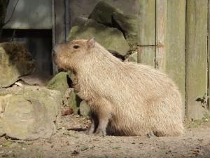 Wasserschweine (Zoo Osnabrück)