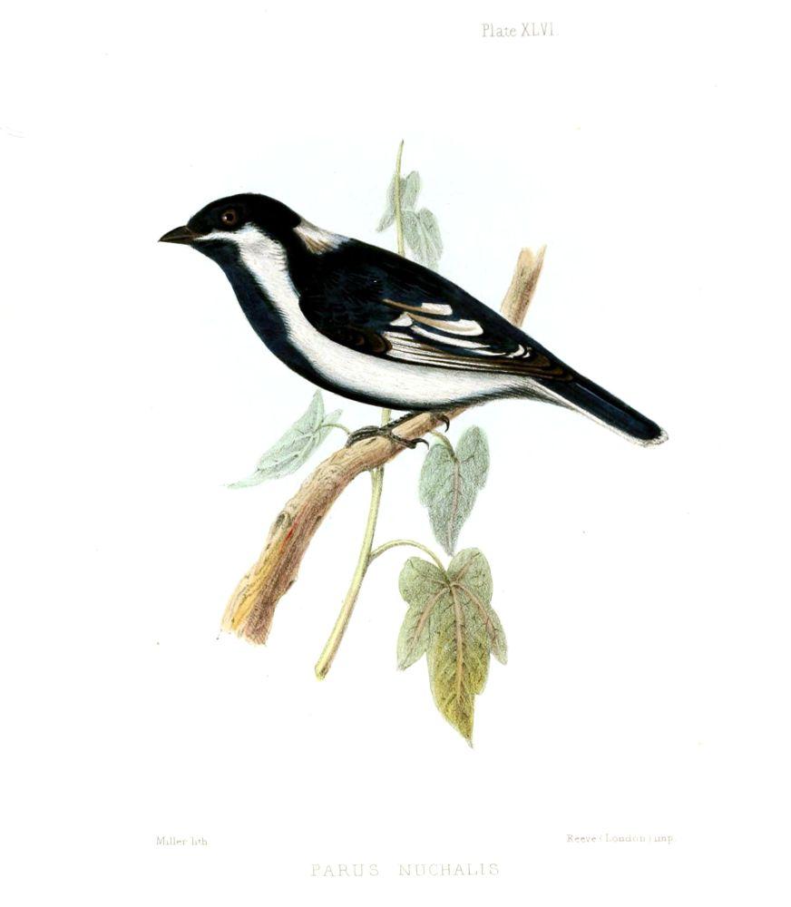 Weißflügelmeise (T . C. Jerdon)