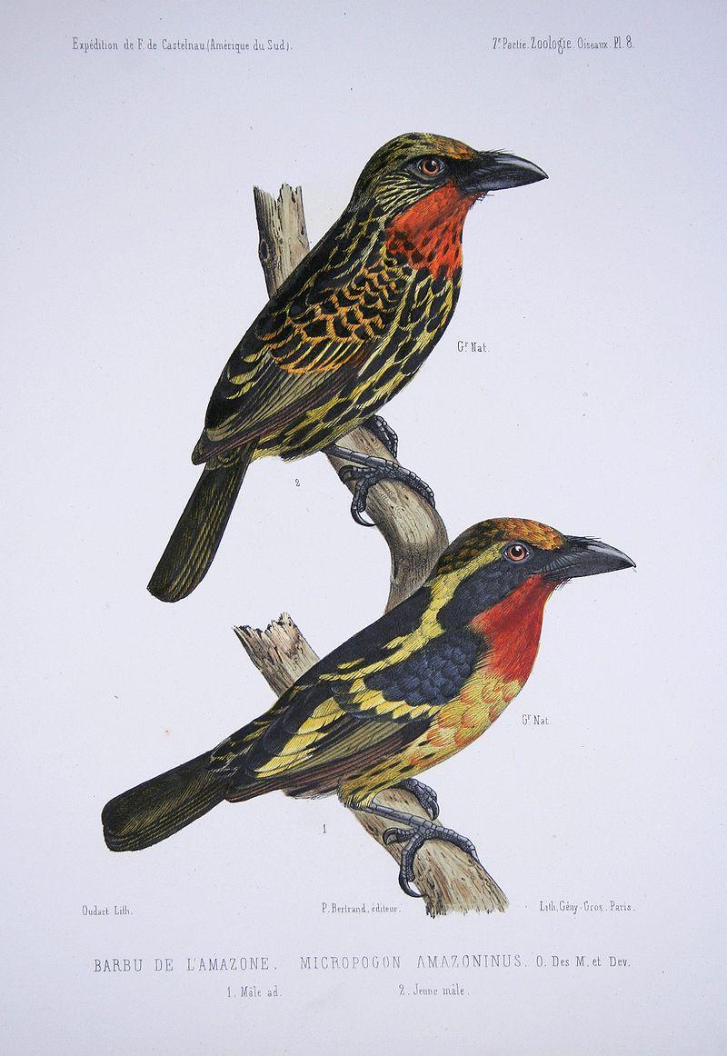 Capito auratus, oben ein Jungvogel, darunter ein Männchen (Francis de La Porte de Castelnau)