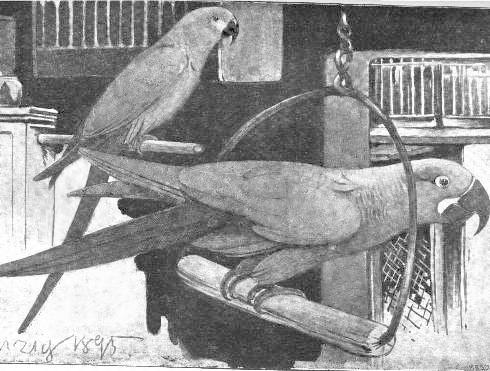 Abbildung eines Spix-Aras (Hintergrund) und eines Türkisaras bei einem Vogelhändler in Hamburg von Karl Neunzig (1895)