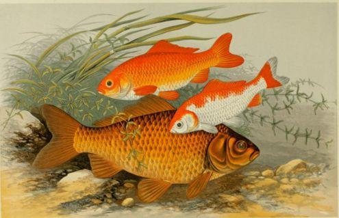 Die geschichte der aquaristik der beutelwolf blog for Poisson rouge gros yeux