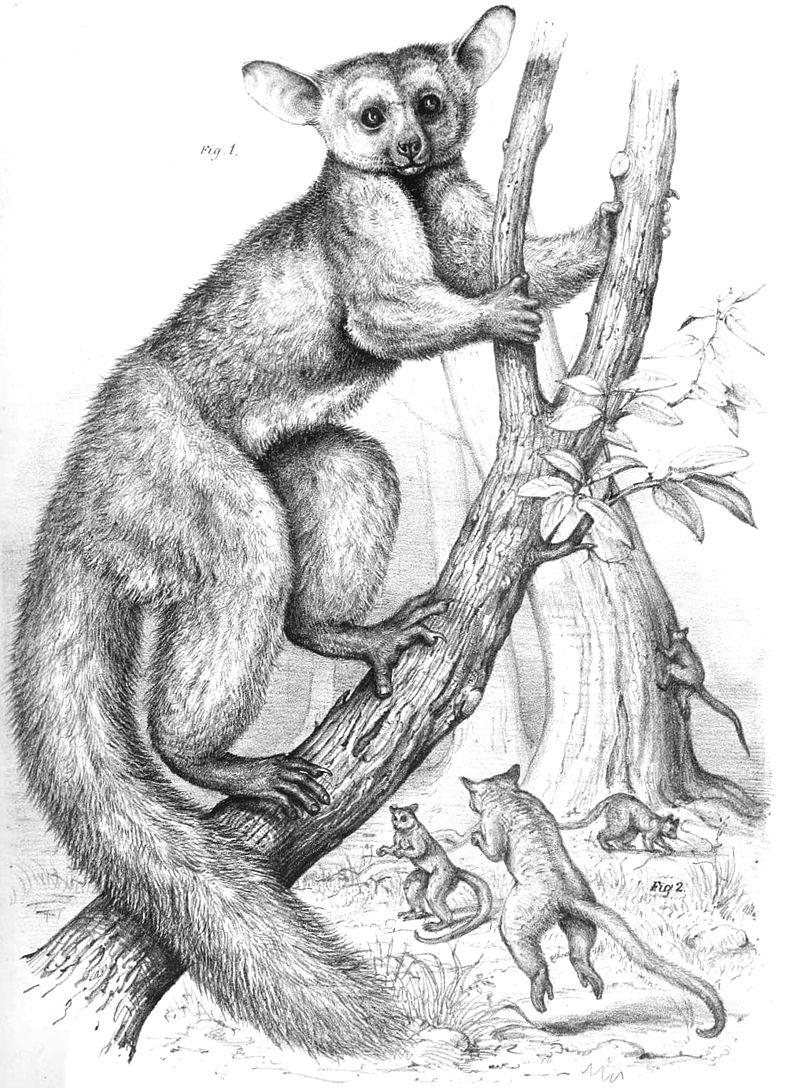 Großohr-Riesengalago (Joseph Wolf)