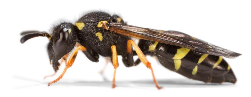 Odynerus spinipes, Weibchen (PD Dr. Oliver Niehuis, ZFMK, Bonn)