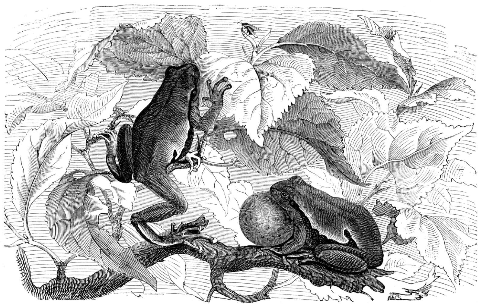 Laubfrosch (Brehms Tierleben)