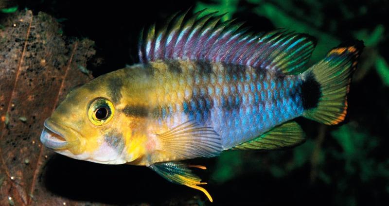 Apistogramma fenocat sp. n. im Aquarium fotographiert (© Römer et al. 2015). Es ist ein territoriales dominantes Männchen zu sehen. Kennzeichnend für diese Art sind unter anderem die violett gefärbte Rückenflosse und ein zweiter, etwas undeutlicherer, Fleck auf der Körperseite.