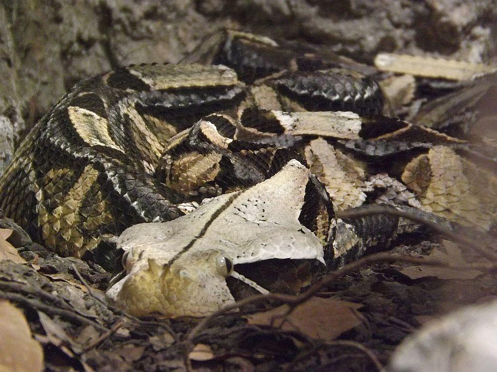 Gabunviper (Reptilium Landau)